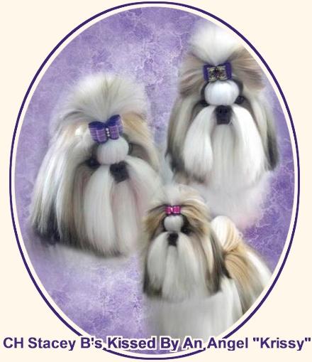 Shih Tzu Puppies Stacy Bs Shih Tzu